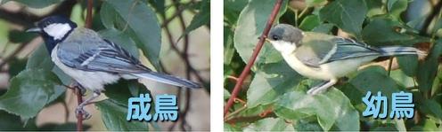 シジュウカラ成鳥と幼鳥.jpg