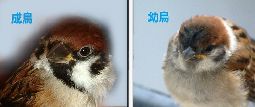 すずめ成鳥と幼鳥.jpg