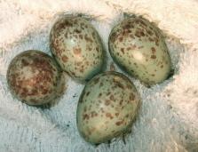 マネシツグミ卵.jpg