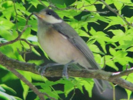 ヤマガラ幼鳥.JPG